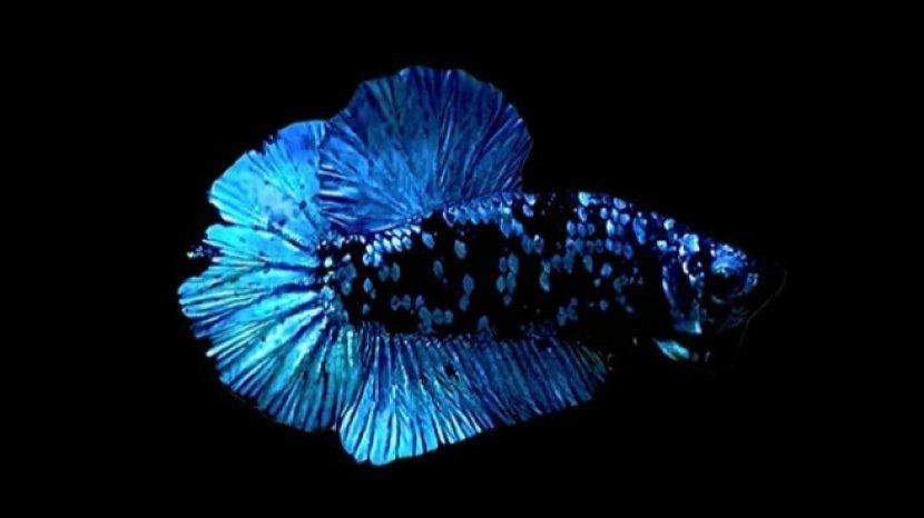 Tag Ikan Cupang Tribun Timur