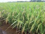amankan-produksi-petani-kalbar-terapkan-pertanian-ramah-lingkungan.jpg