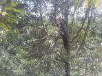 anggota-dprd-kabupaten-luwu-utara-memanfaatkan-waktu-luang-dengan-berkunjung-ke-kebun-durian.jpg