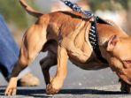 anjing-pitbull-3.jpg