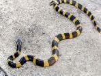 anton-dipatuk-ular-welang.jpg