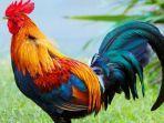 ayam-jantan.jpg