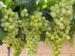 buah-anggur-di-pekarangan.jpg