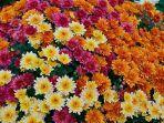 bunga-krisan.jpg