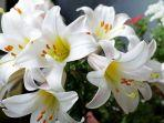 bunga-lily.jpg