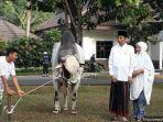 foto-foto-sapi-kurban-jokowi-pada-iduladha-1440-h-disediakan-karpet-hitam-seharga-rp-2-juta.jpg