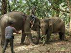 gajah-liar-yang-berhasil-ditangkap-1.jpg