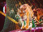 harimau-sirkus-ilustrasi.jpg