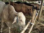 idul-adha-2019-tata-cara-menyembeli-hewan-kurban-sapi-kambing-lengkap.jpg