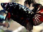 Kenalkan Ikan Cupang Avatar Ikan Hias Peliharaan Para Sultan Tribun Timur