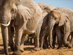ilustrasi-gajah-sabana-afrika-20.jpg