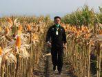 inilah-10-provinsi-produsen-jagung-terbesar-indonesia.jpg