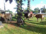kawanan-ekor-sapi-merusak-tanaman-untuk-penghijauan-di-pinggir-jalan.jpg