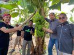 kebun-pisang-lokal-kelompok-tani-semangat-milenial-binaan-syaharuddin-alrif.jpg