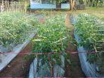 kebun-sekolah-sdn-inpres-154-tumalia-maros_20180723_160026.jpg