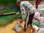 ketidakjelasan-bulog-serap-jagung-30000-ton-petani-grobogan-akhirnya-jual-ke-pabrik-pakan.jpg