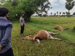 kondisi-dua-sapi-warga-yang-ditemukan-mati-diduga-diracun-di-lingkungan-tippulue.jpg