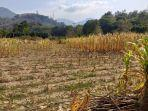 lahan-pertanian-jagung-milik-warga-kelurahan-tuara-kecamatan-enrekang.jpg