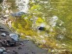 mayat-bayi-laki-laki-ditemukan-mengapung-di-sebuah-sungai-di-kesu.jpg