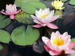 mengenal-ciri-khusus-tumbuhan-teratai-tumbuh-di-air-berlumpur-namun-berbunga-indah.jpg