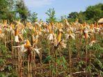 panen-melimpah-pemerintah-siap-jaga-stabilitas-harga-jagung-petani-2.jpg