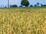 penangkar-benih-padi-sawah-di-kabupaten-gorontalo-masih-tetap-eksis.jpg