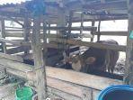 permintaan-sapi-kurban-di-kabupaten-sinjai-menurun-akibat-pandemi-corona.jpg