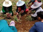 petani-di-bantaeng-saat-melakukan-panen-bawang-merah-1742021.jpg