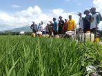 petani-padi-di-kabupaten-tapanuli-tengah-sumatera-utara-174.jpg