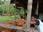 peternak-sedang-memasukkan-ib-ke-sapi-jenis-bali.jpg