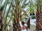 pohon-kurma-berhasil-berbuah-di-depan-halaman-masjid-agung-al-umaraini-26112020.jpg