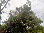 pohon-tumbang-menimpa-kabel-listrik-di-sinjai-selatan.jpg