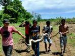 proses-evakuasi-ular-jenis-piton-dari-perkebunan-pabrik-gula-bone.jpg