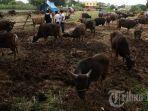 sapi-kurban-memenuhi-ladang-sawah-yang-kering-di-jalan-tun-abd-razak-2.jpg