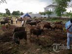 sapi-kurban-memenuhi-ladang-sawah-yang-kering-di-jalan-tun-abd-razak.jpg