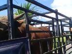 sapi-kurban-milik-walikota-makassar-danny-pamanto-yang-siap-diberangkatkan-dari-desa-gareccing.jpg
