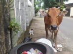sapi-terlihat-sedang-memakan-sampah-warga.jpg