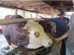 sejarah-masuknya-hewan-sapi-di-indonesia-ternyata-diimpor-dari-india.jpg