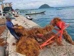 seorang-petani-rumput-laut-sedang-menarik-tali-budidaya-rumput-laut.jpg