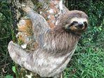 sloth-hewan-terlambat-di-dunia-2362021.jpg