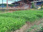stadion-mattoanging-makassar-ditanami-sayuran.jpg