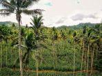 tanaman-jagung-di-bawah-pohon-kelapa-di-mempawah-kalimantan-barat-kalbar-1-1082020.jpg
