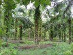 tanaman-kelapa-sawit-di-kecamatan-mappedeceng-kabupaten-luwu-utara.jpg