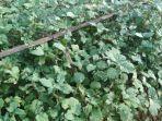 tanaman-nilam-1-1742020.jpg