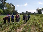 tanggap-laporan-petani-kementan-gerak-cepat-atasi-ulat-grayak-jagung.jpg