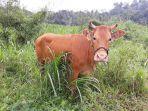 ternak-sapi-jenis-limosin-di-desa-puncak-kecamatan-sinjai-selatan.jpg