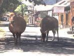 ternak-sapi-yang-berkeliaran-di-kecamatan-ujung-bulu-kota-bulukumba-meresahkan-warga.jpg