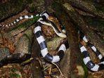 tragis-bocah-4-tahun-di-cirebon-digigit-ular-weling-saat-tidur-cek-bahayanya-dan-cara-menangani.jpg