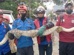 ular-pyton-sepanjang-6-meter-gegerkan-warga-di-padduppa-kecamatan-tempe.jpg