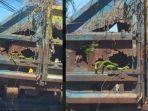 viral-truk-pengangkut-sampah-bolong-di-gresik-tampak-ular-hijau-di-bak-truk1.jpg
